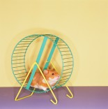 Gerbil getting his work out on inside his sweet wheel