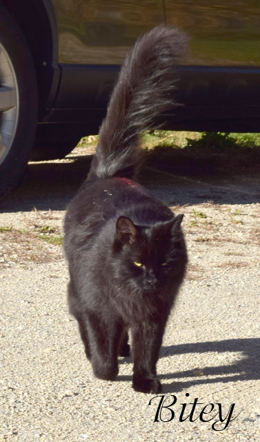 bitey, black cat, fluffy tail