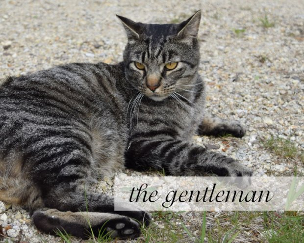 The Gentleman cat, tiger, grey