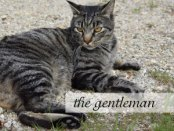 the gentleman tiger